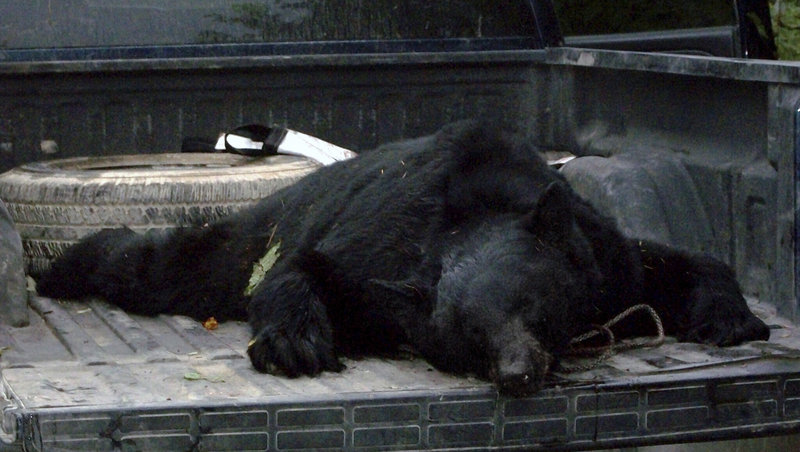 This 365-pound bear attacked Ryan Shepard while he was hunting Monday in Township 5 Range 7 near the base of Sugarloaf Mountain, not far from the village of Shin Pond. Shepard, a professional hunting guide, said he got off two shots with his rifle before the charging animal knocked him down. Shepard said the bear was moving as fast as 15 mph.