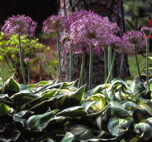 These allium christophii have hosta planted around them because, while the blossoms of allium are great, sometimes the leaves can get a bit ugly.