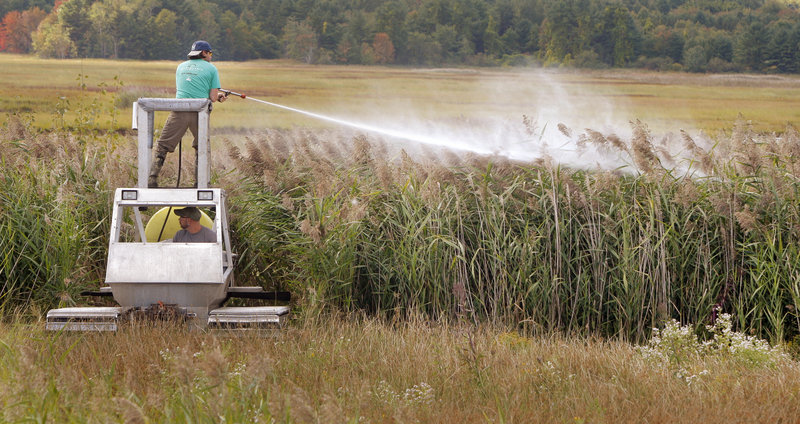 Colin Avery sprays herbicide to kill an invasive reed, Phragmites australis, in Scarborough Marsh on Monday. The machine Avery is standing on, called a Marsh Master, is being driven by Tyler Carlson. Both men work for IMM Inc., a contractor based in Madison, Conn.