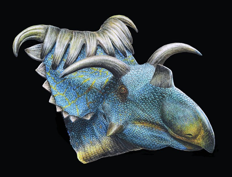 This image provided by the Utah Museum of Natural History shows an artist's reconstruction of the Kosmoceratops, above, and Utahceratops, below. Scientists said Wednesday they've discovered fossils in the southern Utah desert of two new dinosaur species closely related to the Triceratops, including one with 15 horns on its large head.