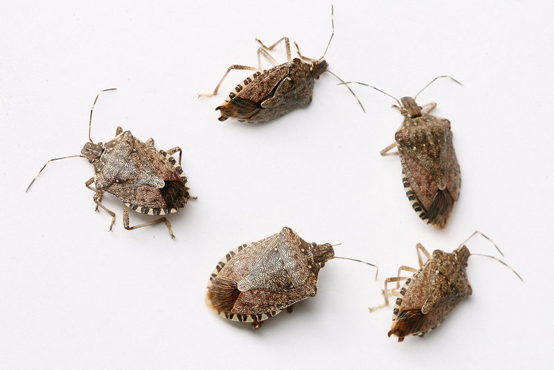 Stink bugs are poised to make a population shift from the outdoors into suburban homes, hotels and offices.