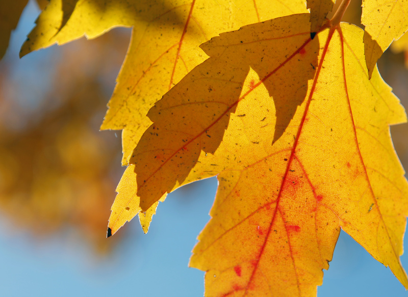 The leaves of a maple tree on Walton Street in Portland provide evidence Monday that foliage has reached peak color in southern Maine. Today should be nice for leaf-peeping.