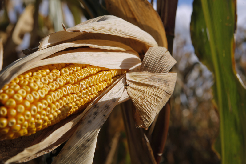 An ear of corn hangs from a plant in the maze, which is open Friday through Sunday until Halloween.