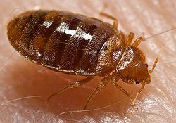 A close-up photo of a bedbug.