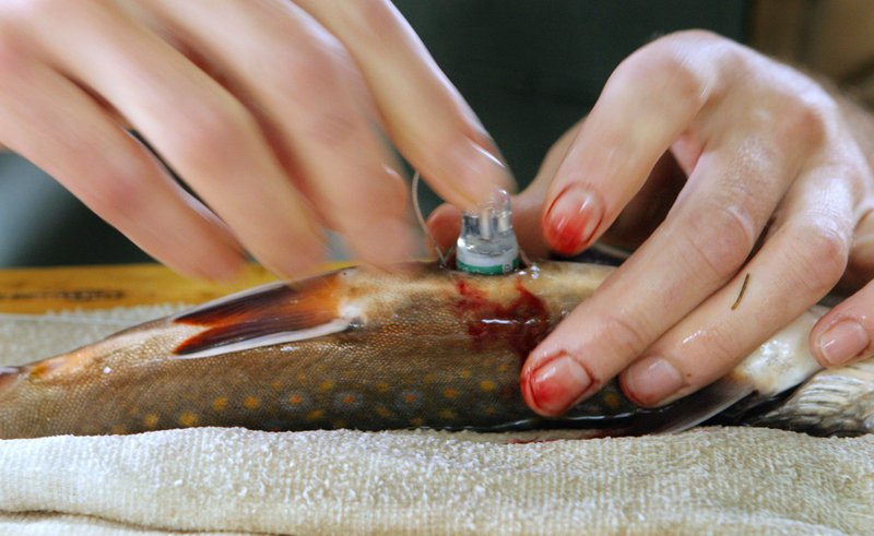 Seeback inserts a radio tag into a male brook trout as part of the Inland Fisheries and Wildlife department study of the fish in the Roach River.
