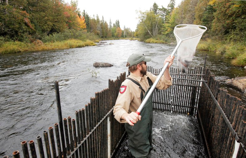 Steve Seeback, a state fisheries specialist, lifts a net full of fish from a weir in the Roach River near Kokadjo. Biologists gather fish in the weir to measure and weigh them, and then release them back into the river.