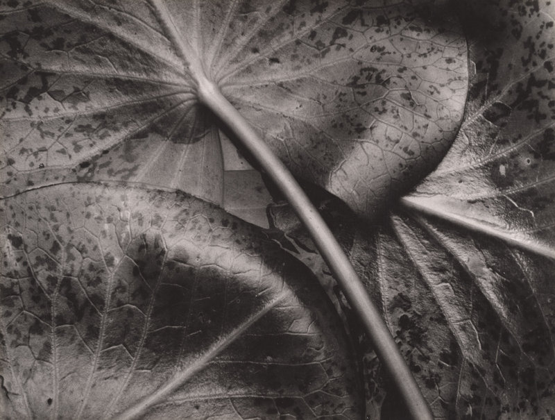 """""""Water Lily Leaves,"""" 1931, by Sonya Noskowiak, from """"The Triumph of Group f/64"""""""