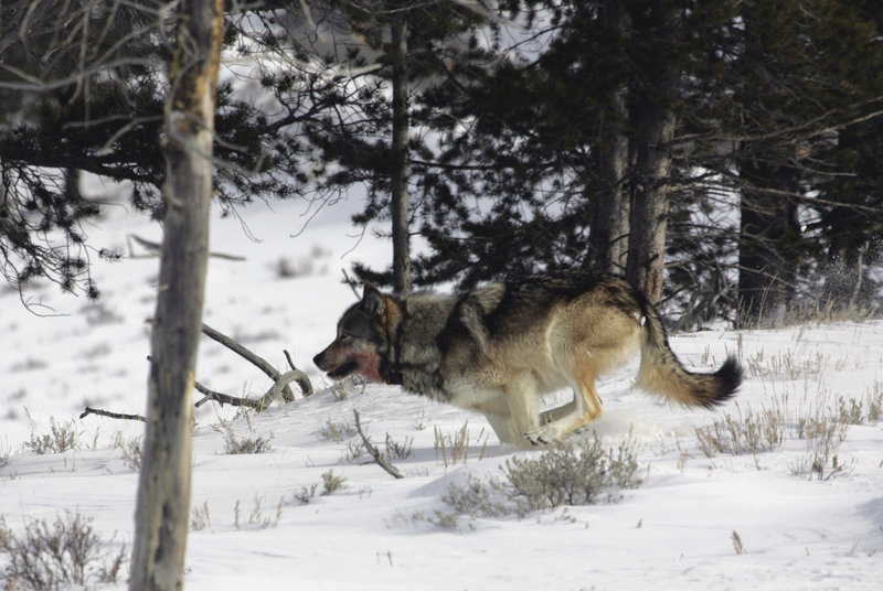 A gray wolf is seen in Yellowstone National Park. Lawmakers are proposing a rewrite of the Endangered Species Act that would lift protections for wolves first enacted in 1974.