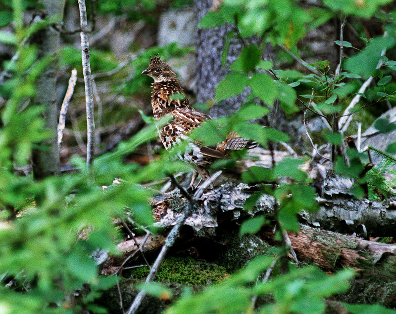 For ruffed grouse, hunters and their dogs head up to the aspen ridges before wind and sun dry the morning dew.