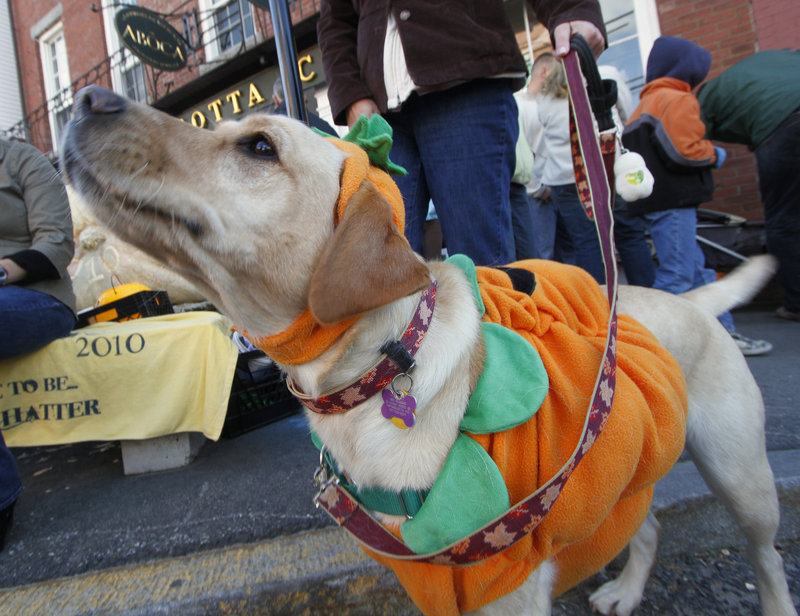 Iris, a yellow Labrador from Damariscotta, watches the passing parade with her owners.