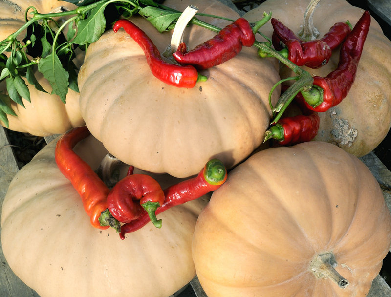 Chef Daran Poulin of Bowdoin College in Brunswick will be using Fishbowl Farm Long Island cheese squash to make a pumpkin bisque for the American Harvest Picnic.