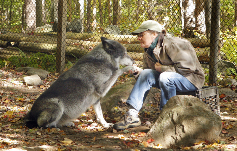Brenda Foster talks to a wolf named Tazlina on Monday at the Runs With Wolves Sanctuary in Limington, where she cares for five pure-blooded wolves. State game wardens plan to question her today about operating without state and federal permits.