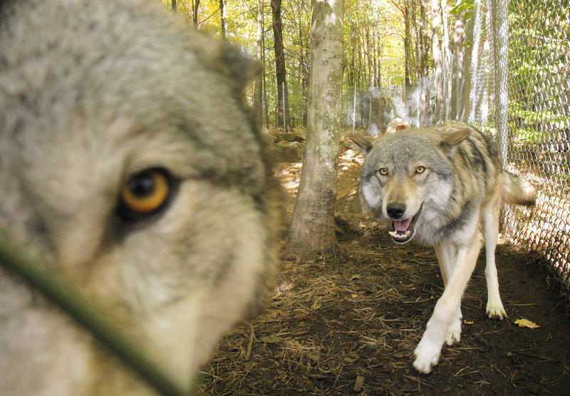 Lomasi, left, and Anoki are the most recent arrivals at the Runs With Wolves Sanctuary in Limington.