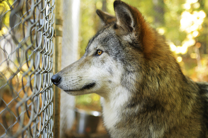 Warden watch: A wolf at Brenda Foster's Runs with Wolves reserve