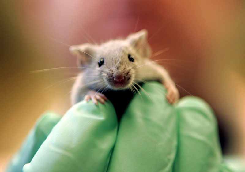 A laboratory mouse climbs on the gloved hand of a technician at the Jackson Laboratory, in Bar Harbor. The lab ships more than 2 million mice a year to qualified researchers.
