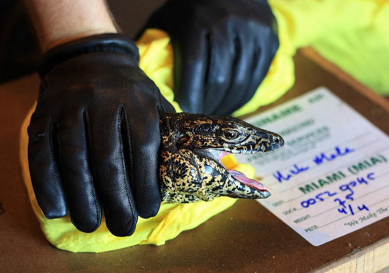 A U.S. Fish and Wildlife officer checks a Tagoo lizard at Miami International Airport. The U.S. government continues to allow wide-open imports of a vast range of wildlife, permitting most shipments to enter without inspection.