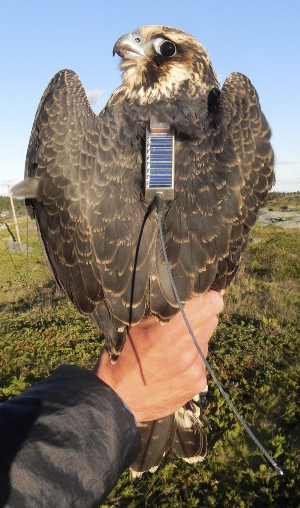 Two juvenile peregrine falcons were captured on Monhegan Island this fall and fitted with satellite transmitters that allowed biologists to follow their migration route from Maine to Cuba and Columbia.