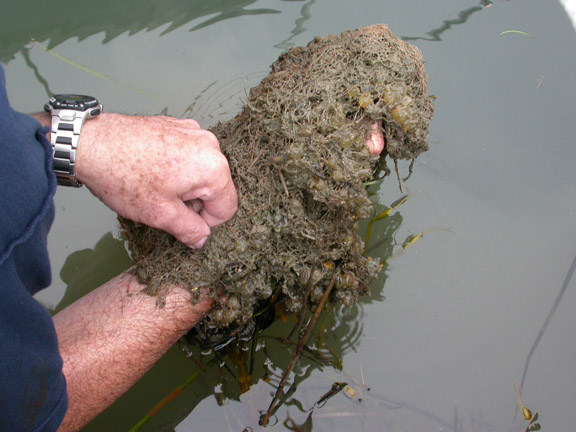 A scientist holds a mass of sea squirt. The marine invader has been found on floating docks in Portland, South Portland and South Freeport.