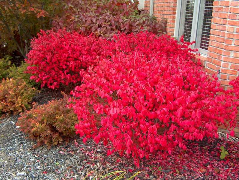 """Rudy Haag"" dwarf burning bush can stand in for the invasive burning bush – you will still get colorful foliage in fall, but it is unlikely to muscle out or harm native plants."