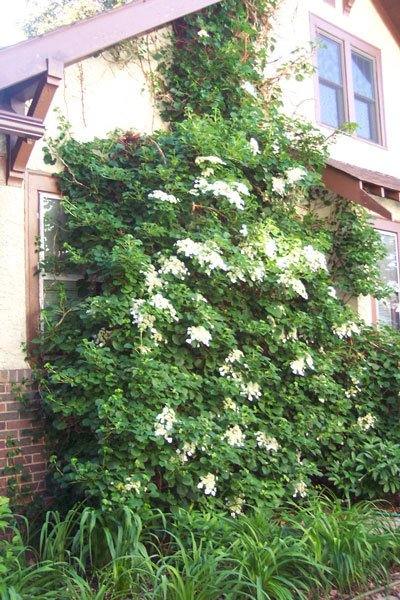 Climbing hydrangea is a good, attractive alternative to invasive Oriental bittersweet.