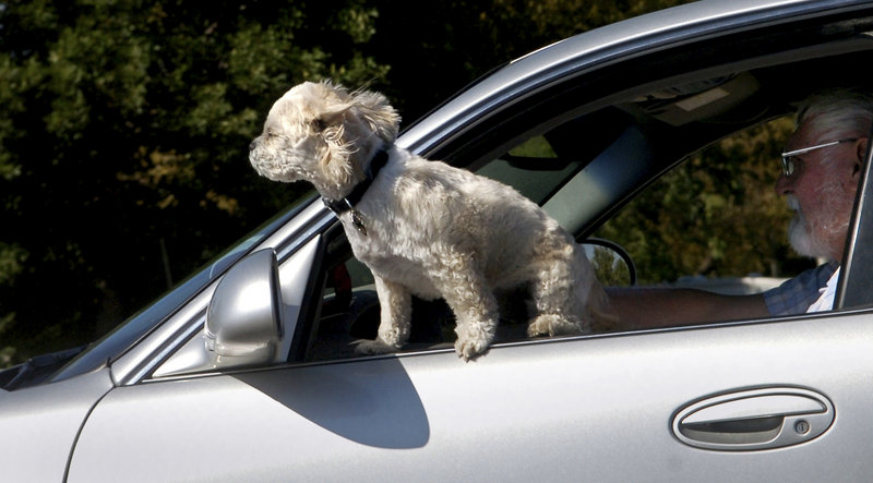 Experts advise keeping dogs restrained while riding in cars. An unrestrained dog could distract the driver, become a deadly projectile, or be badly hurt should an accident occur.