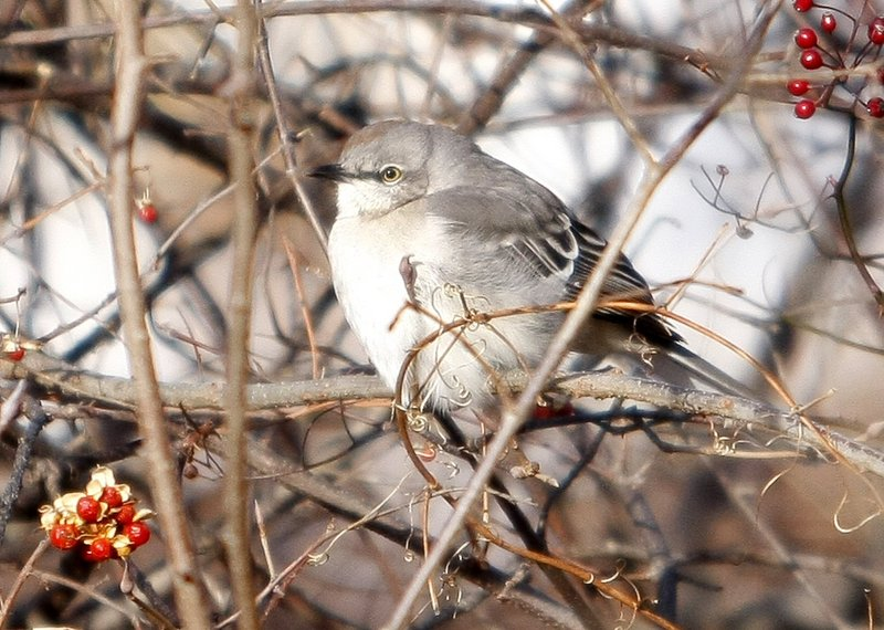 Northern mockingbirds, like this one seen in a previous bird count, were spotted this year in Bangor and the Lewiston-Auburn area.