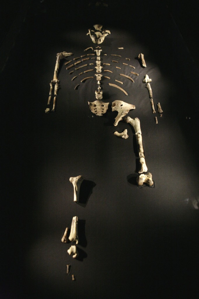 The Australopithecus afarensis skeleton called Lucy is displayed during a press preview at the Houston Museum of Natural Science in this Aug. 28, 2007 file photo. Lucy's feet were made for walking, researchers have concluded.