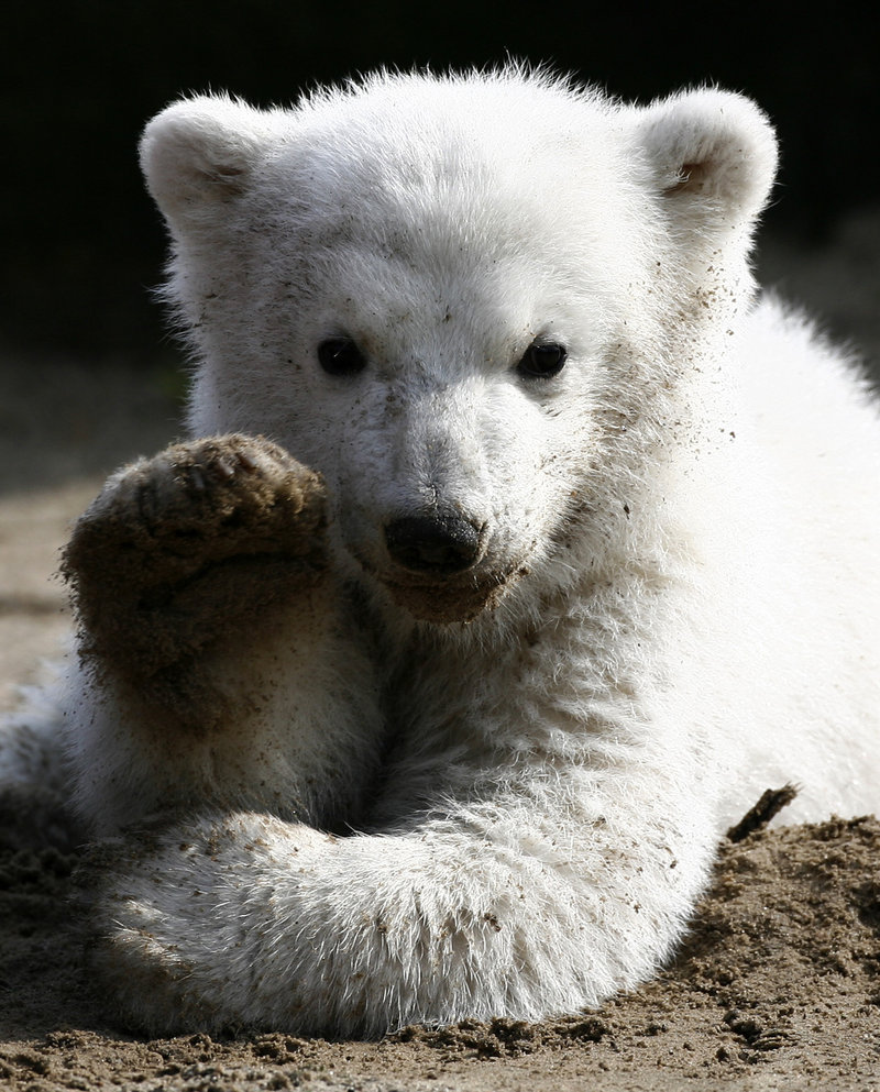 Knut, the now-famous polar bear cub, gives his first public appearance at the Berlin Zoo in 2007. An autopsy will be performed Monday to pinpoint the cause of death, which took zookeepers by surprise.