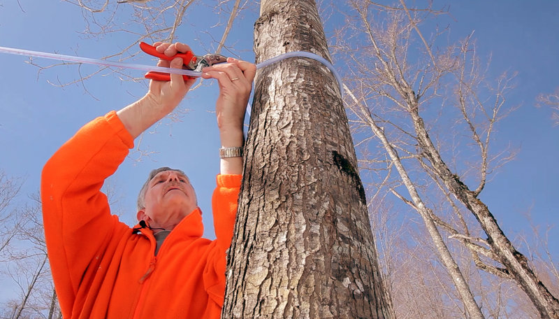 Harry Hartford reattaches tubing to a maple tree near his sugarhouse in Newfield. Hartford and his wife, Debra, have more than 1,600 taps that run sap directly into the sugarhouse.