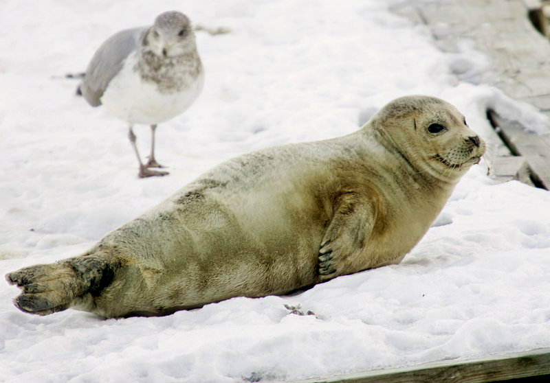 A juvenile harp seal rests on a dock in Boston Harbor. Small numbers of juvenile harp seals are typically found each winter stranded along the northeastern U.S. coast, but there are reports of three times the usual number of adult harp seal sightings.