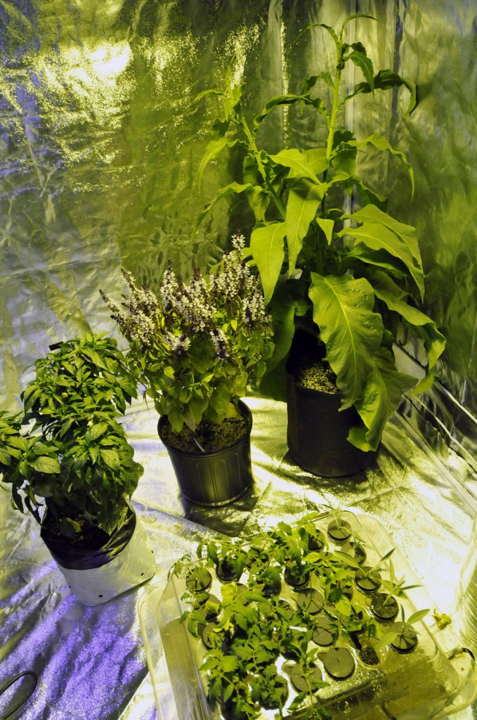 Logan uses tobacco, peppers and basil in a growing hut for demonstrations.