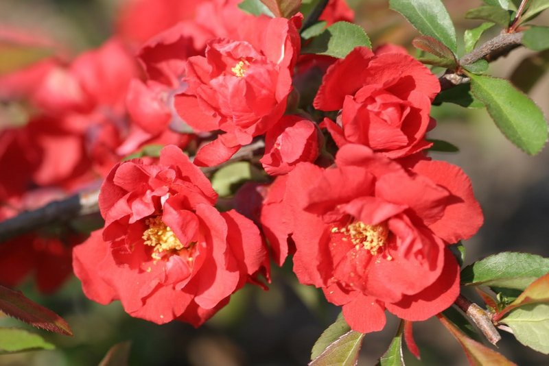 "Flowering quince ""Iwai Nishiki,"" which attracts hummingbirds and has deep-red double blooms"