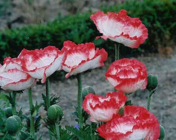 "Papaver ""Place Pigalle,"" a member of the Oriental poppy family"