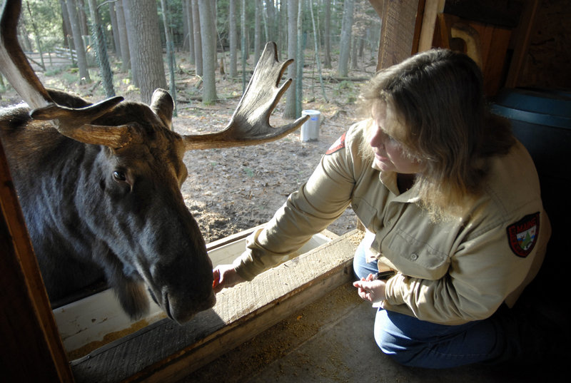 This photo, taken at the Maine Wildlife Park in Gray, does two things right. First, the two subjects – the moose and the woman – are both offset. Second, they are interacting.