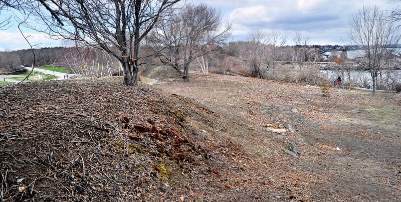 Removing invasive plants from Fort Williams Park for a planned arboretum revealed the presence of the New England cottontail rabbit, a species listed as endangered by the state in 2007.