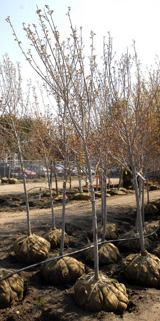 Trees await planting at a Maine garden center: This is the day for it.