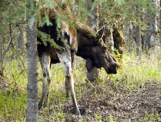 In this May 22, 2011 photo provided by Caren della Cioppa, a moose is seen on della Cioppa's property in Palmer, Alaska. Della Cioppa, 65, is the latest Alaskan hurt in a spike of moose attacks in southcentral parts of the state this year. Della Cioppa and a girl were struck just five days apart this month. (AP Photo/Caren della Cioppa)