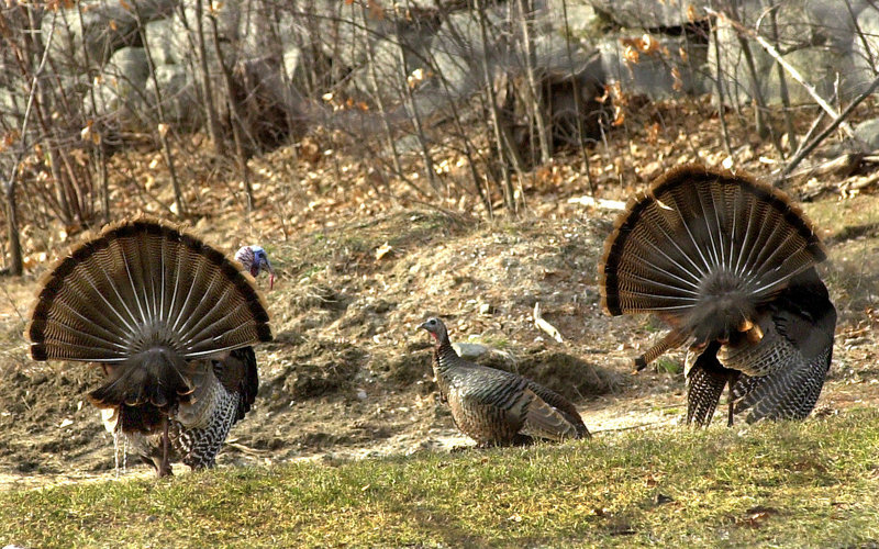 Tom turkeys court a hen. The wild turkey population in Maine has grown to an estimated 60,000 birds, now found as far north as Portage, just south of Fort Kent.