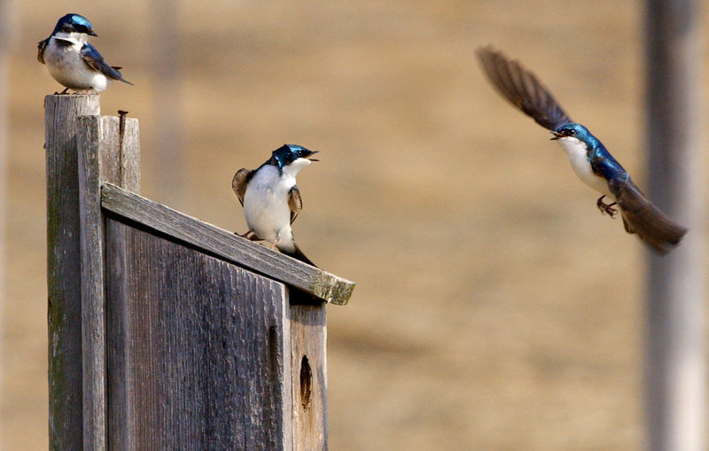 Tree swallows wrangle over a nesting box at the Scarborough Marsh. Eastern bluebirds and tree swallows also compete over nest boxes, and if homeowners position boxes correctly they might attract both types of birds.
