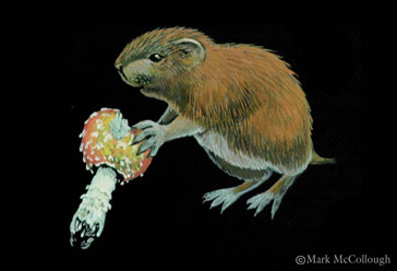 """The department of Inland Fisheries and Wildlife describes the northern bog lemming as """"among Maine's rarest and most elusive mammals."""""""