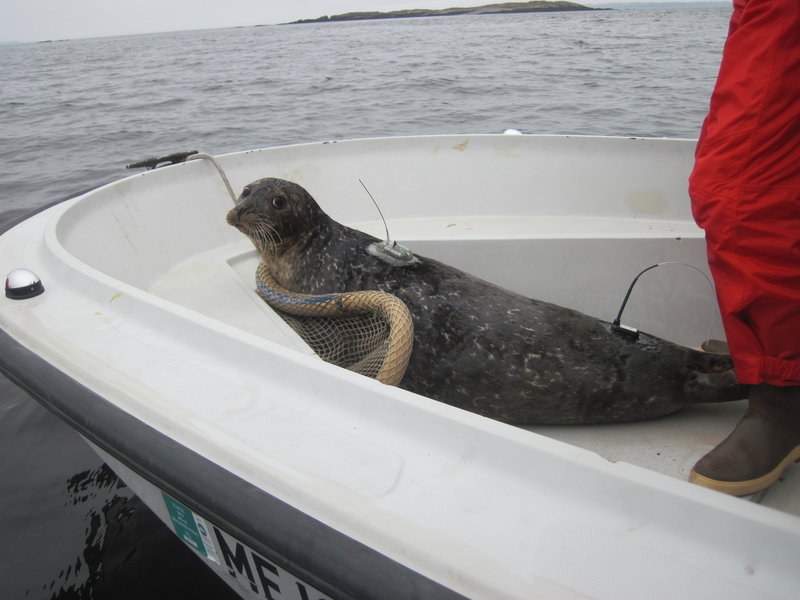 A captured harbor seal is ready to head back into the ocean with a transmitter fixed to its coat. A survey, the first such study in a decade, will help to estimate populations.