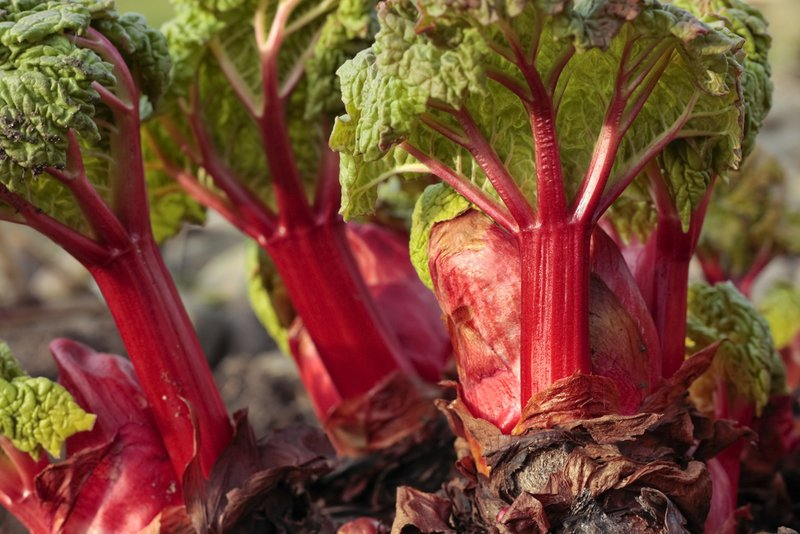 Lucky gardeners may find rhubarb among the offerings at plant sales.