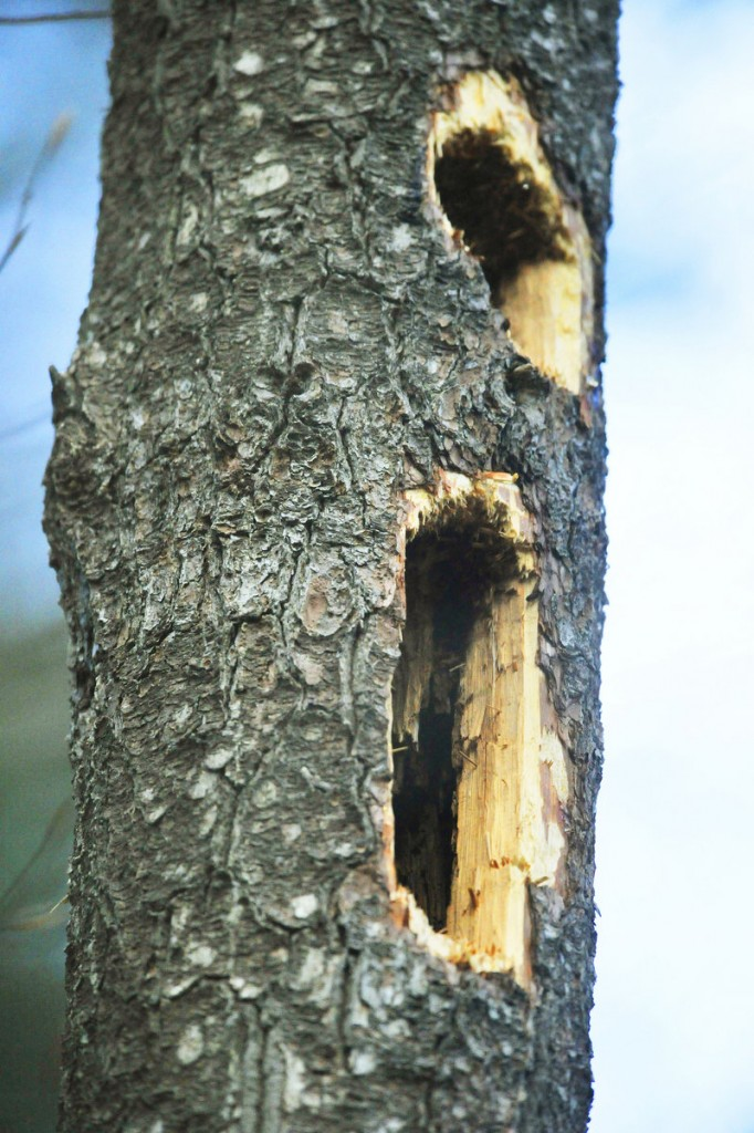 Large holes in trees indicate the presence of pileated woodpeckers.