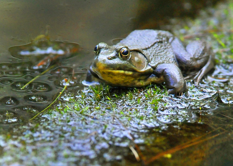 A green frog sits on a log in a vernal pool, a breeding area for the frogs, in Lewiston's Thorncrag Sanctuary.