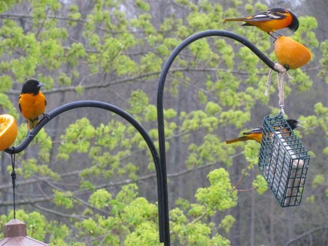 A flock of Orioles visits Betty Dunton in Gardiner during a recent May morning. Many migratory visitors have returned to Maine for the season.