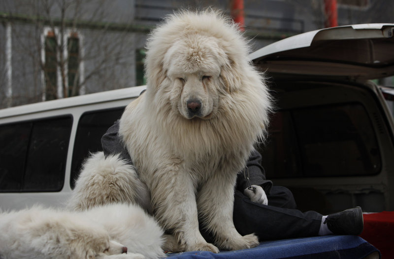 A Tibetan mastiff waits to be displayed at a dog show outside of Beijing. Dog ownership is up sharply in China, and officials are tightening regulations.