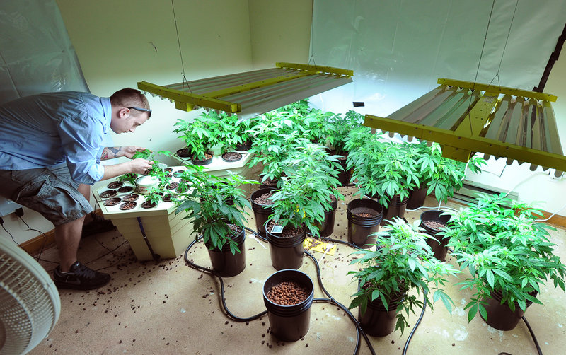 Robert Rosso checks over newly cloned plants in the room where new plants get their start.