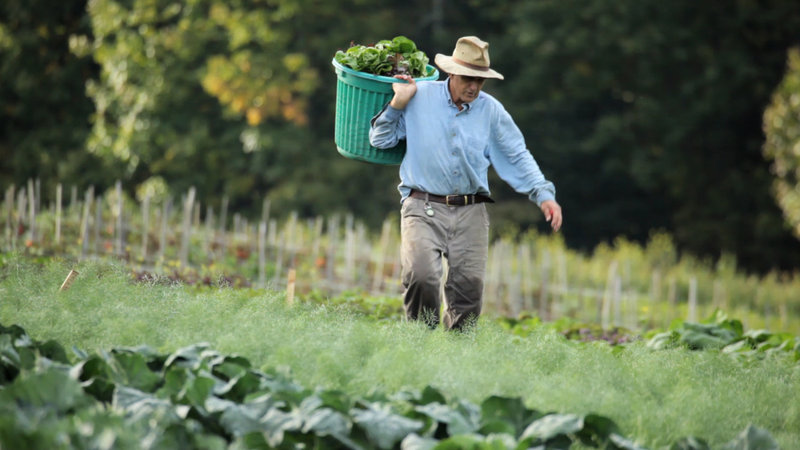 Addison Chase of Chase Farm in Freedom harvests greens in a scene from