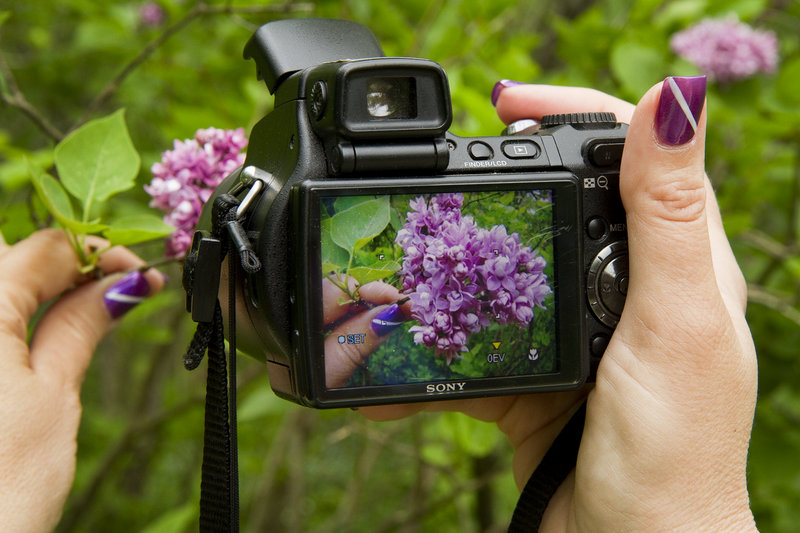 A visitor takes a close-up of some of the Lilac Festival's stars.