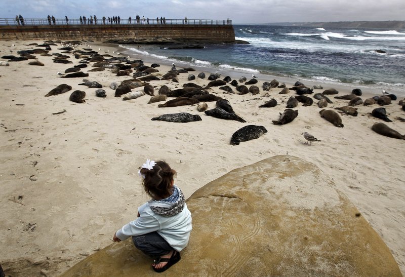 Two-year-old Clara Luzmorr of Rock Springs, Wy., watches harbor seals lying on the sand along La Jolla beach, known as Children's Pool, in San Diego on Sunday. A judge is expected to decide this week whether the cove should be a children's beach or should be cordoned off year round to protect the harbor seals.